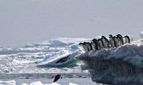 Graven for pingviner i Antarktis