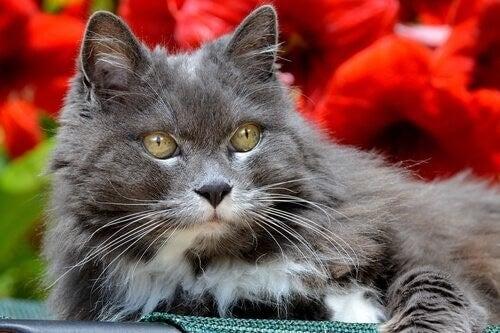 Grå kat foran roser