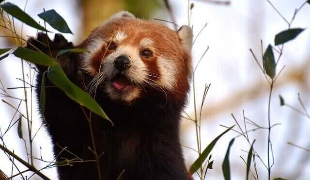 Rød panda i buskads