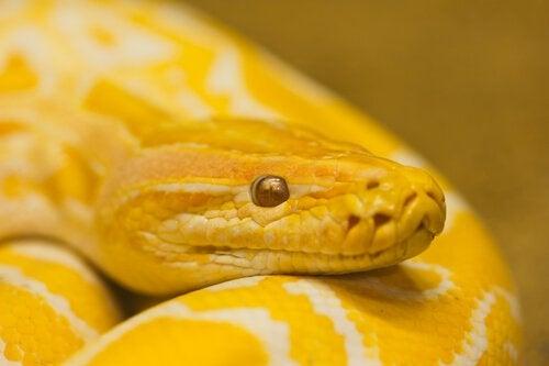 Gul slange er eksempel på kæledyr, der ikke giver allergi