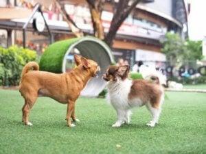 Små hunde sammen viser, hvordan hunde hilser