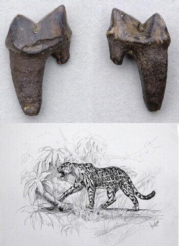 Tegning af en vild uddød kat og dens tænder