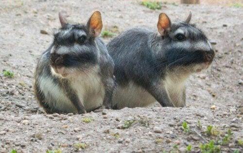 Viscachaer med de karakteristiske aftegninger i ansigtet