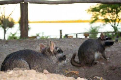 Den almindelige viscacha er en stor gnaver, der lever i Sydamerika