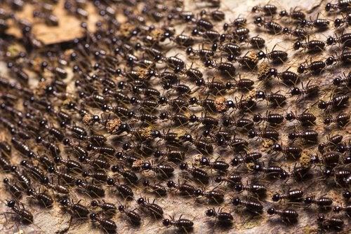 Kæmpe vrimmel af myrer