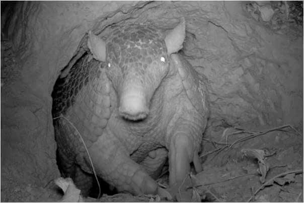 Kæmpebæltedyret i hule under jord