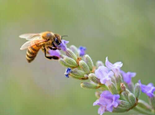 Bi samler nektar fra blomst