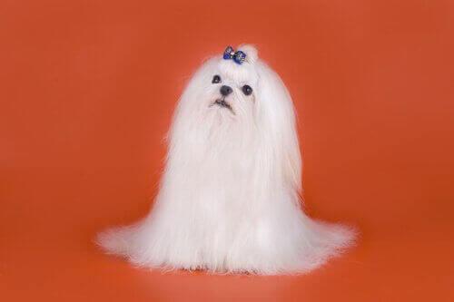 blå sløjfe på hovedet af hund