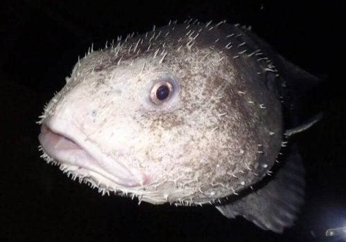 Blobfisken er ikke er rovdyr, og de jager eller forfølger ikke deres bytte.