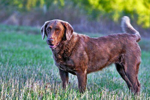 Labradoren er en af de mest kendte retriever hunderacer