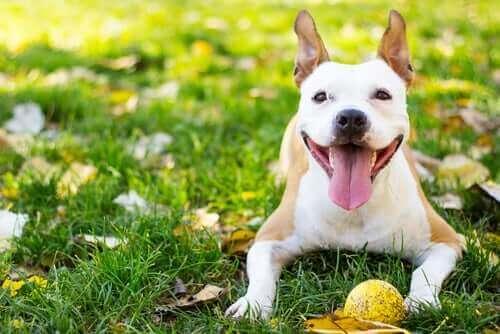 Hund ligger på græs med bold