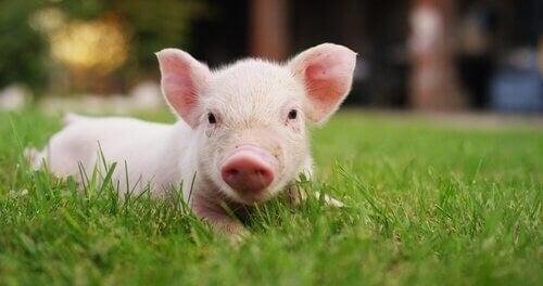 Historien om domesticering af grise