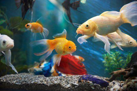 Ejer er ved at passe en guldfisk i akvarie