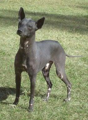 Den argentinske hund er en hårløs hund