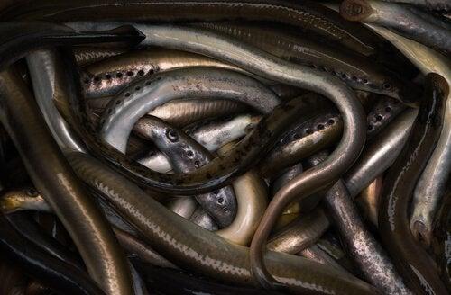 Der findes 40 arter af lampretter, fordelt på de forskellige søer og floder