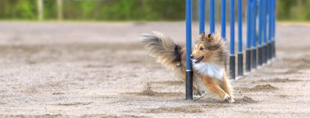 Hund løber mellem pæle i hundekonkurrence
