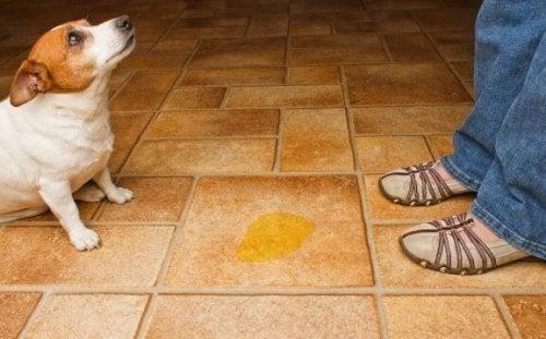 Lille hund har tisset på gulvet