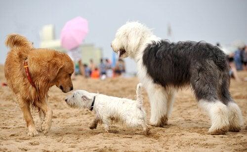 Hunde på strand er en del af at socialisere et kæledyr