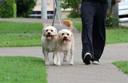 hundelufter går tur med to hunde