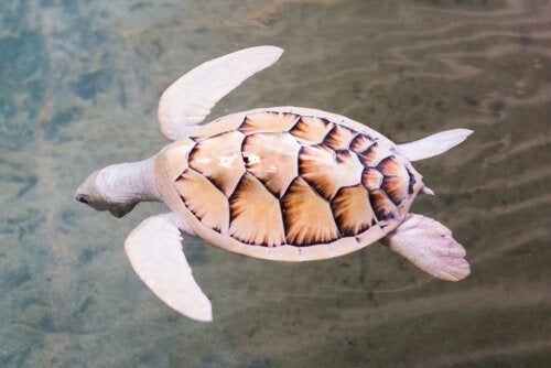 En hvid skildpadde svømmer