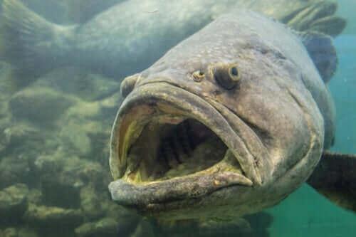 Det er en meget stor fisk