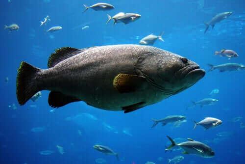 jødefisken er hermafrodit