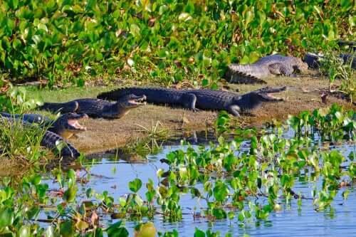 kaimaner soler sig ved floden