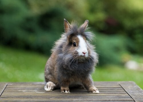 Alt, hvad du bør vide om en løvehoved kanin