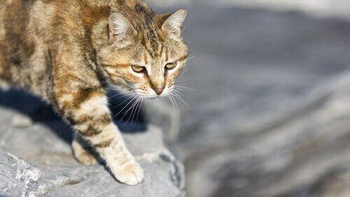 En kat, der jager sit bytte