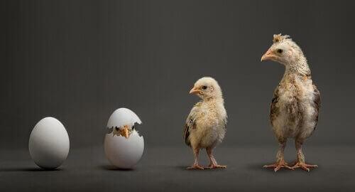 Kloning af dyr illustreres af æg, der klækkes