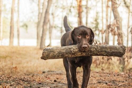 Labrador med stor gren