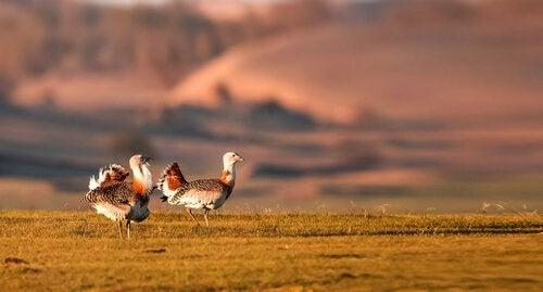 Stortrapper er meget robuste fugle, og voksne hanner kan veje op mod 15 kg