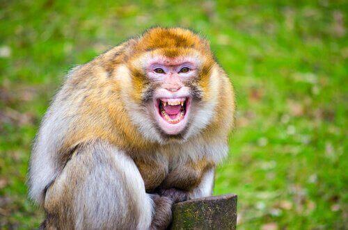Denne abe angreb en konge