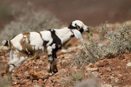 Fuerteventura geder og den fantastiske Majorero ost