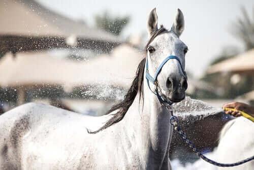 Sådan holder du din hest afkølet om sommeren