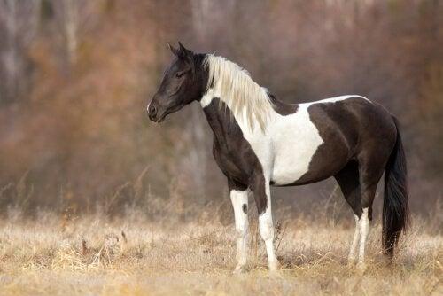 En broget hest på mark