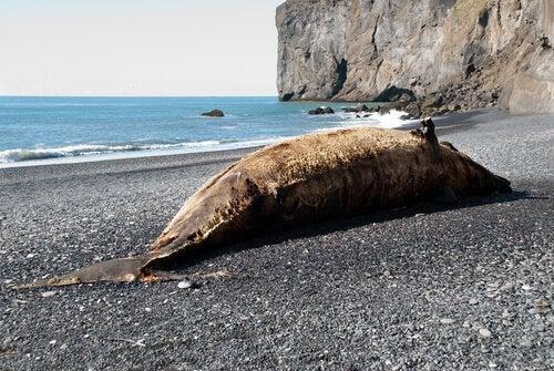 Død hval er strandet på kyst
