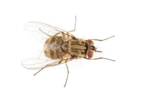 Flue på hvid baggrund