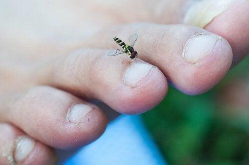 Inficerede hunkvægmyg kan forårsage flodblindhed