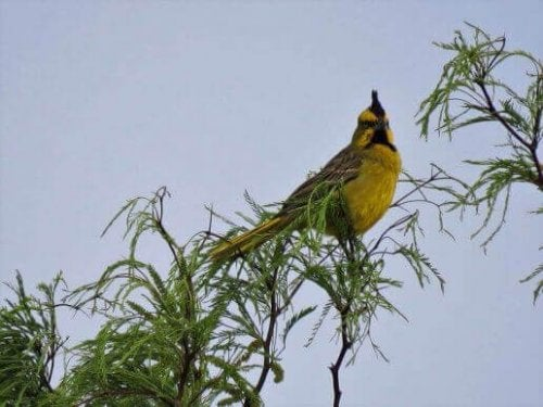 Den gule kardinal i træ