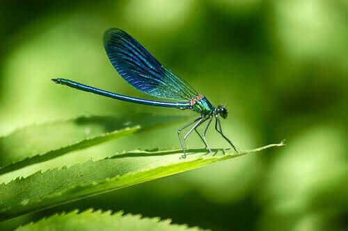 en guldsmed hviler sig på et blad