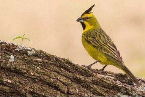 Den gule kardinal: En sød melodisk sanger