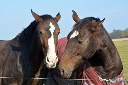 To heste på fold sammen i forsøg på at bekæmpe stress hos heste