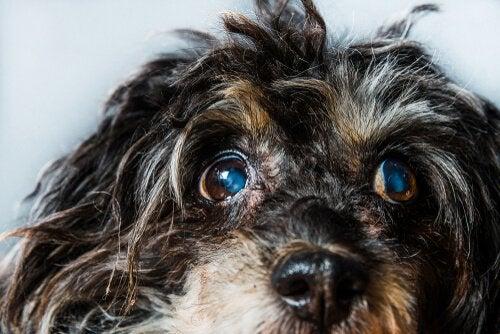 Grøn stær hos hunde: symptomer og behandlinger