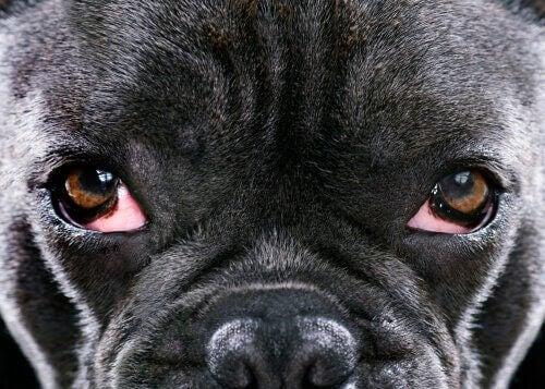 Nærbillede af hunds øjne illustrerer grøn stær hos hunde