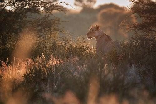 Løve på savanne