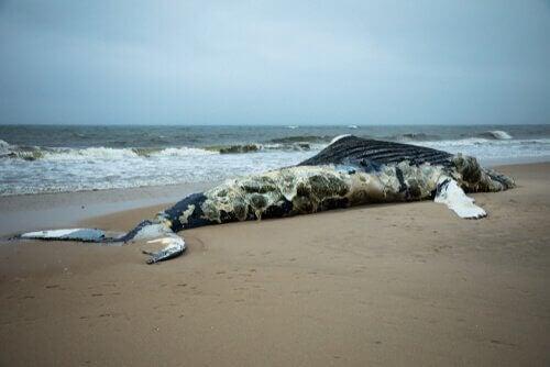 Strandet død hval viser, hvordan hvaler eksploderer, når de dør
