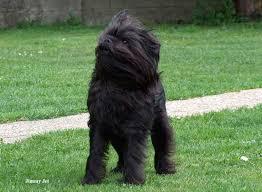 Affenpinscheren er en lodden lille hund, som vil vinde dit hjerte