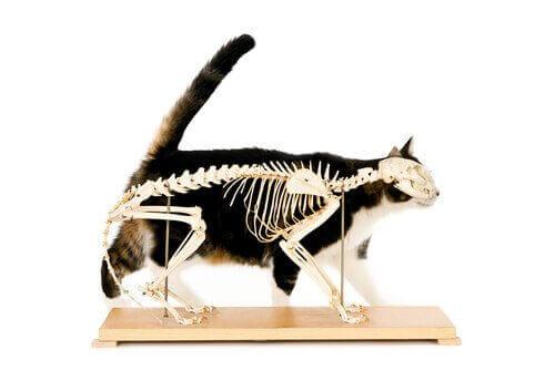 Kats skelet