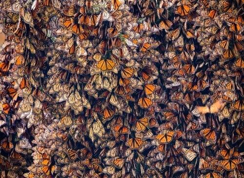Mange sommerfugle samlet på et sted